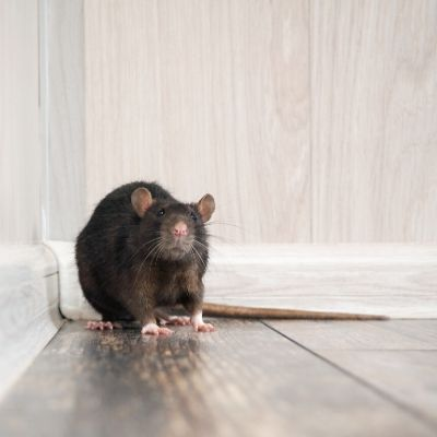 rodent removal  clubbys pest control